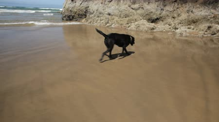 cachorro : Black Labrador dog running along the Oregon Coast, handheld shot