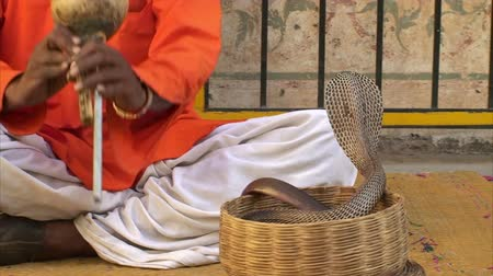 had : Snake charmer playing music for cobras in basket, Jaipur, Rajasthan, India