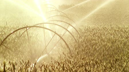 irrigate : Afternoon sun on a field of wheat getting water