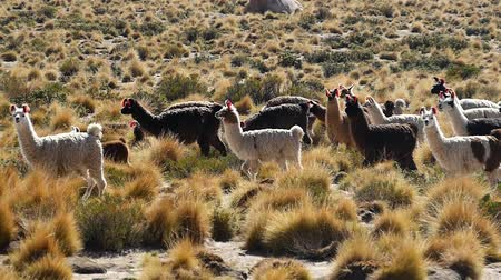 wandering : Scene from Boliva South America Slow Motion of llamas running free