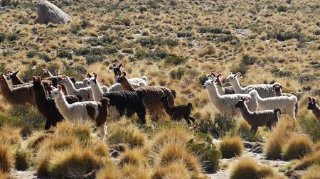 vándorlás : Scene from Boliva South America Slow Motion of llamas running free