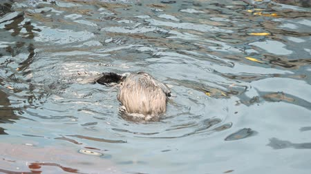 loutre : 4k Close Up Clip of two Otters playing together, swimming and sharing food, eating and passing food to each other. Rolling, Splashing around and ducking under the water. Vidéos Libres De Droits