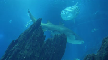 school of shark : 4k Aquatic Great White Shark ocean sea scene with shoals of fish and other tropical marine life such as stingrays swimming in the back ground. Clear water, good visibility with slight blue tint to scene. Stock Footage
