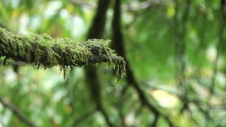 Close up on tree branches with moss Vídeos
