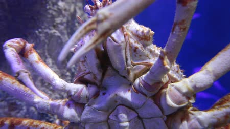 kullancs : The Japanese spider crab is the largest living crab species
