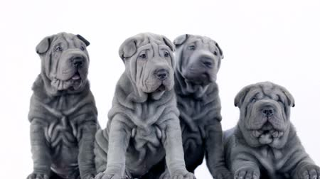 щенок : Four Shar Pei Pups Sitting in the Studio.  Shar Pei dogs looking at camera with a white background. Four blue grey Sharpei puppies.