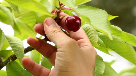 macrobiotic : Picking Cherries.  Collecting cherries from the tree. Collecting spring fresh fruit with a secateurs or garden scissors. Macrobiotic and bio way of living. Healthy food. Organic food.