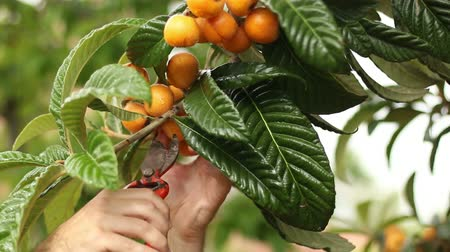 macrobiotic : Collecting Loquats.  Picking loquats from the tree. Collecting spring fresh fruit with a secateurs or garden scissors. Macrobiotic and bio way of living. Healthy food. Organic food.