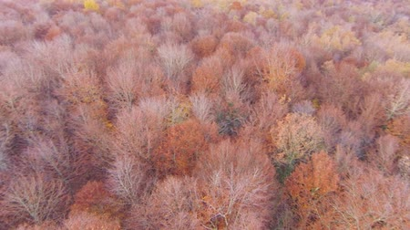 de faia : Aerial View Flying Over the Top of the Beech Trees.  Drone aerial footage over the red and orange treetops in Autumn. Flying around the top of the beech in Fall. Natural landscape of the Garrotxa, Girona.
