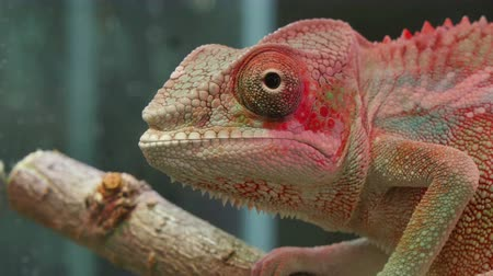 ящерица : Chameleon Reptile Moving Eyes.  Chameleons or chamaeleons Chamaeleonidae are a distinctive and highly specialized clade of old world lizards with 202 species described. These species come in a range of colors, and many species have the ability to change c