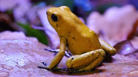 veneno : Golden Poison Dart Amphibian Frog.  The golden poison frog, Phyllobates terribilis, also known as the golden frog, golden poison arrow frog, or golden dart frog, is a poison dart frog endemic to the Pacific coast of Colombia. This poison prevents its vict Stock Footage