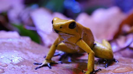 veneno : Golden Poison Dart Frog.  The golden poison frog, Phyllobates terribilis, also known as the golden frog, golden poison arrow frog, or golden dart frog, is a poison dart frog endemic to the Pacific coast of Colombia. This poison prevents its victims nerve