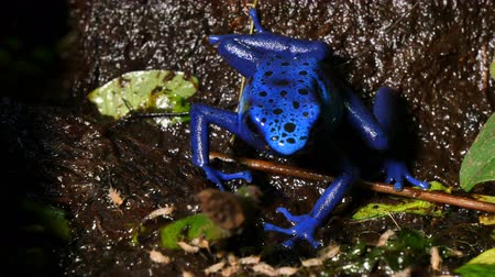 veneno : Dendrobates Azureus Blue Poison Dart Frog Tinctotius. These amphibians are Known as indigenous people dart frogs Because the use froga poison blow darts and arrow for poison. All wild dart frogs secrete toxins through Their skin. However, captive-hatched
