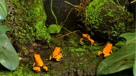 veneno : Golden Poison Arrow Frog Terribilis Group. The golden poison frog, golden poison frog, Also known as the golden frog, golden poison arrow frog, dart frog or golden, is a poison dart frog endemic to the Pacific coast of Colombia. This poison Prevents ITS v