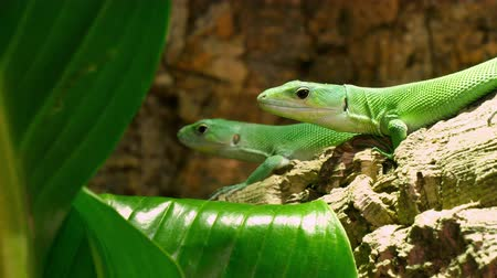 diurnal : Lactide Green Lizards Gastropholis Prasina Couple. Gastropholis is a genus of Equatorial African lacertid lizards of the family Lacertidae. Not much is Known esta but all species of genus are diurnal, arboreal and Often secretive. They inhabit forests, wo Stock Footage