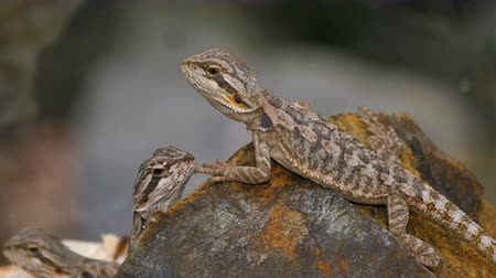pogona : Reptile Pogona Couple. Pogona is a genus of reptiles container containing eight lizard species, Which are Often Known by the common name bearded dragons. The name bearded dragon Refers to the beard of the lizard, the underside of the throat Which turn Stock Footage