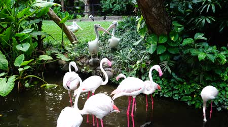 uzun : Pink flamingos have taken territory of pelicans in the pond. Pelicans are trying to win it back. Stok Video