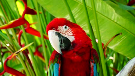 ara papagáj : Parrot Ara. Red parrot macaw has woke up, begins to talk, shows his feather on his head and shows his cute face. Stock mozgókép