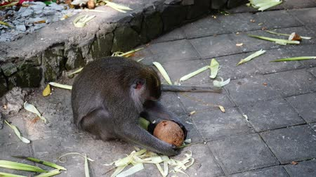 problem : Monkey wants to open coconut rolling it about stone floor. Monkey is trying to solve a problem of getting content till its tounge is sticking out. Indonesia. Bali.