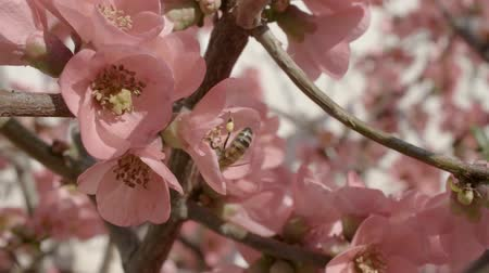 pszczoła : Bee flying to a peach flower and collecting pollen in slow-motion