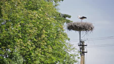 bocian : European stork in his nest on top of high voltage electricity pole between green trees on a sunny day