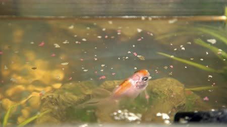 snag : Feeding goldfish in the aquarium at home. Fish rock and plants in the background