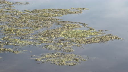 amargo : Slimy, green floating water algae on the pond surface. Green weeds growing on water surface, acidifying water