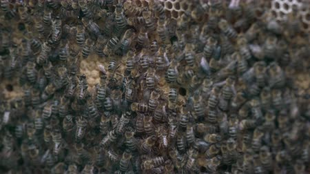 essencial : Thousands of bees on honeycombs with honey. Bees collecting nectar and putting into hexagonal cells after returning to beehive