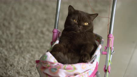 ronronar : British Shorthair cat laying in colourful baby stroller indoors. Playful domestic cat sitting in a trolley inside