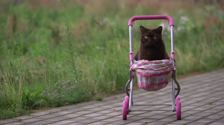 vagoneta : British Shorthair cat laying in colourful baby stroller outdoors. Playful domestic cat sitting in a trolley outside