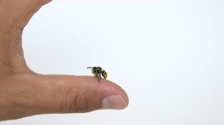 inflamed : Close up view of bee sting mans finger isolated on white background. Wasp on human finger, most people have allergic reaction after which is usually swelling and pain Stock Footage
