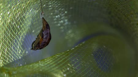 chrysalis : Time lapse of butterfly metamorphosis. Sequence from egg, larva, pupa to adult butterfly. Cycle of butterfly breeding