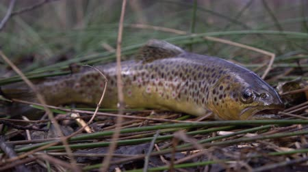 Патагония : Fresh water, wild brown trout on vegetation by the river. Wild fish with dots on the grass. Fly fishing, spinning in the river stream