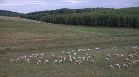 gyapjas : White sheep eating grass in the field by the forest. Domestic lamb outdoors in the valley. Animal farm. Farmer growing sheep for meat and wool