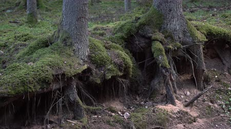 dvojitý : Pine tree roots at the forest canopy surface. Mossy tree root coming of the ground in the woods.