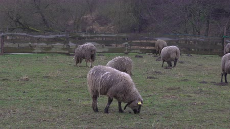 anyajuh : Fluffy sheep grazing and grassing on the farm land. Flock of sheep eating grass outdoor