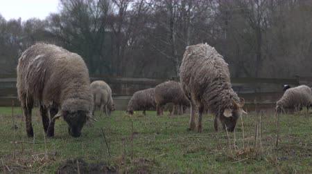 gyapjas : Fluffy sheep grazing and grassing on the farm land. Flock of sheep eating grass outdoor