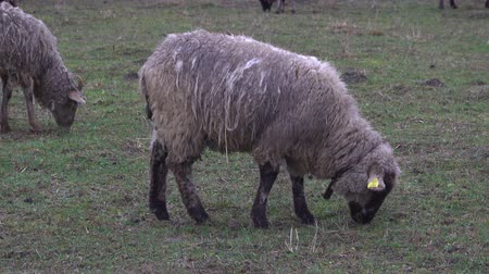ewe : Fluffy sheep grazing and grassing on the farm land. Flock of sheep eating grass outdoor