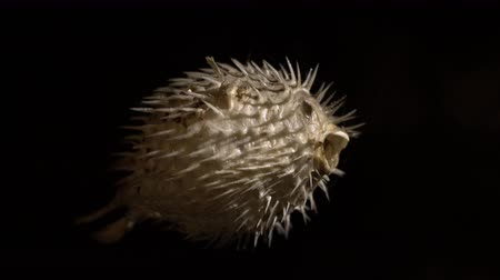 pufferfish : Dried Blowfish  puffer fish - diodon holocanthus skeleton on dark background. Very poisonous considered a delicacy in some countries Stock Footage