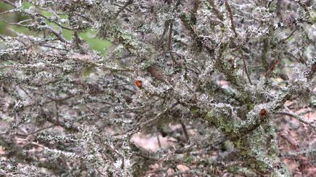 liken : Lichen growing on tree branch in the forest. Grey moss on old tree trunks moving in wind outdoors