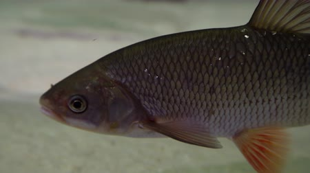 ужение : Chub fish - squalius cephalus. Underwater shot of mature chub fish resting on river floor. Fresh water predator fish hunting for smaller fish