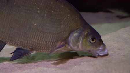 Bream fish - abramis brama. Underwater shot of mature bream fish looking for food on river floor. Fresh water