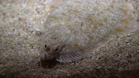 caché : Flatfish - Pleuronectidae. Flat fish laying under the sand on the sea bottom, camouflage on the ocean floor.