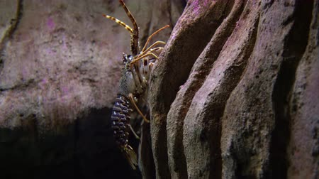 spiny : Spiny lobster - Palinurus elephas. Underwater shot of lobster on the ocean bottom floor. These shellfish are common in western Europe Stock Footage