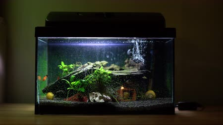 tlen : Small fish tank aquarium with colourful snails and fish at home on wooden table. Fishbowl with freshwater animals in the room