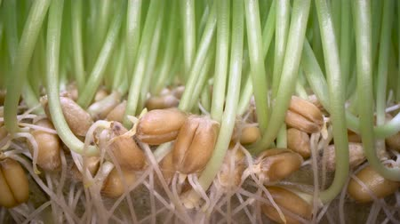 magok : Growing edible grass at home. Green sprouts coming out of seeds in white pot, bio food, healthy eating lifestyle