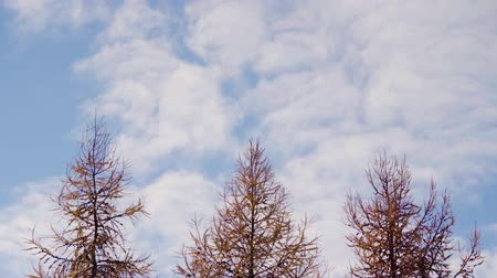 Clouds moving on a blue sky over three larch trees in a countryside. Rural landscape with copy space.