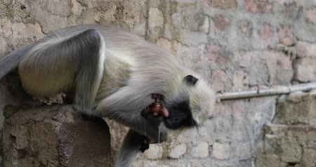 fofinho : Indian Monkey Drinking Water Stock Footage
