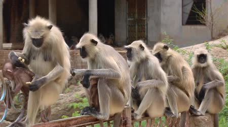 forest preservation : Group of Indian Monkey Stock Footage