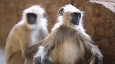 forest preservation : Indian Monkey Stock Footage